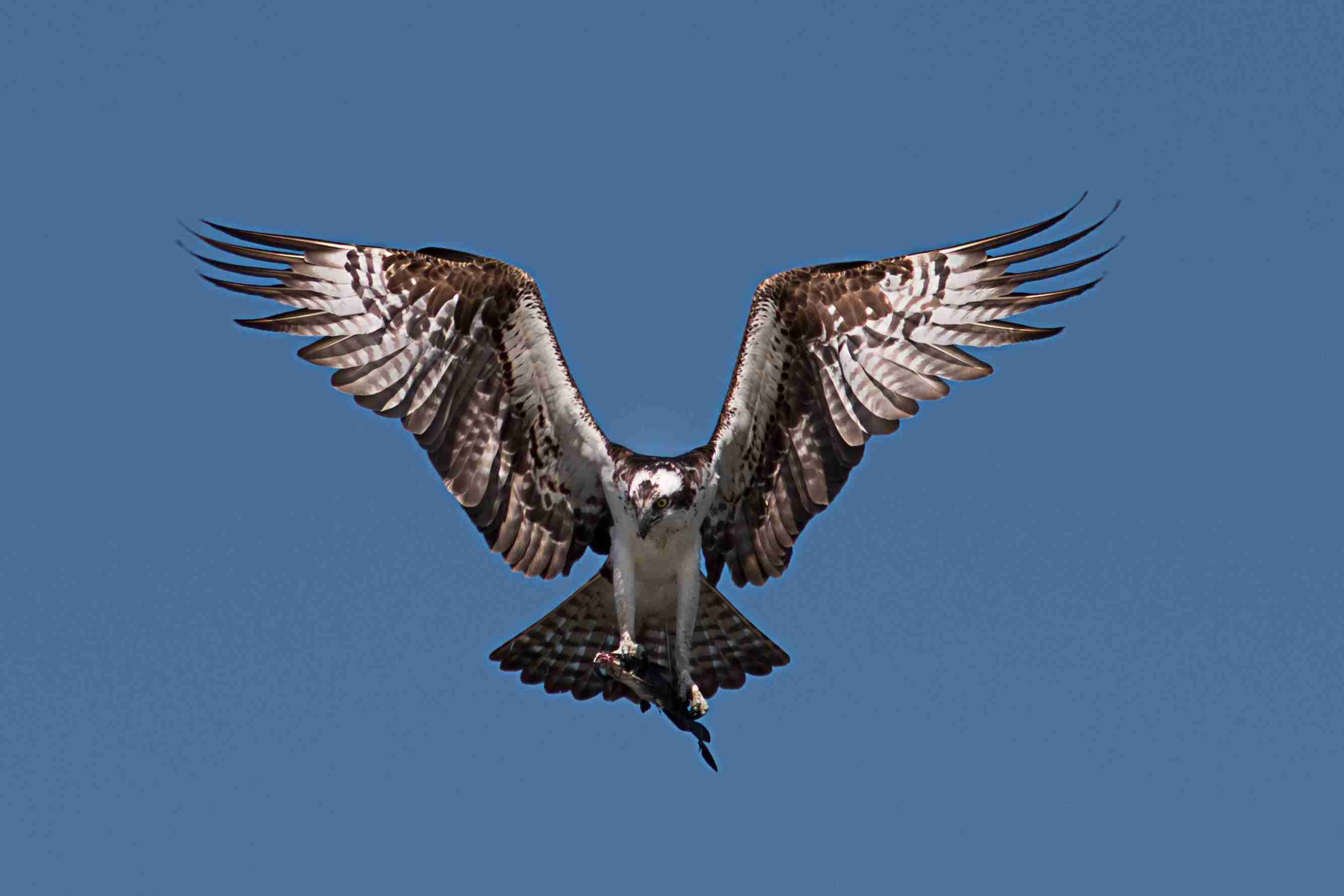 Photograph of an Osprey with wings out carrying a catfish back to the nest.