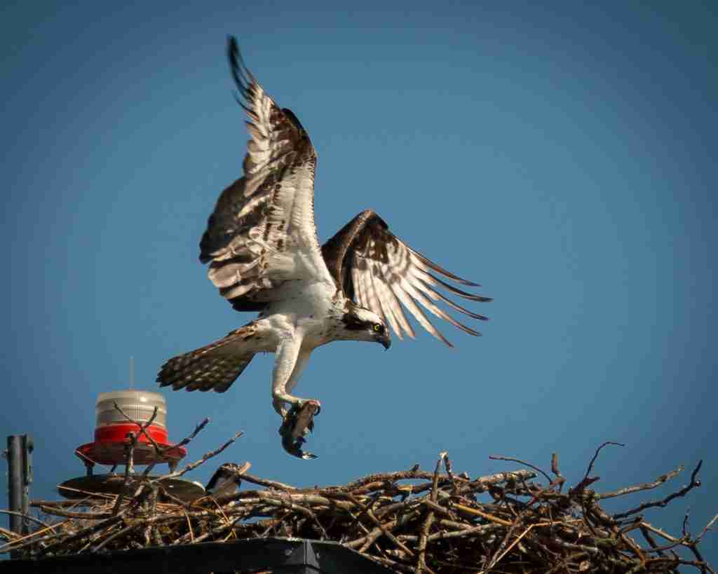 Photograph of an Osprey near the nest with a Catfish in its talons