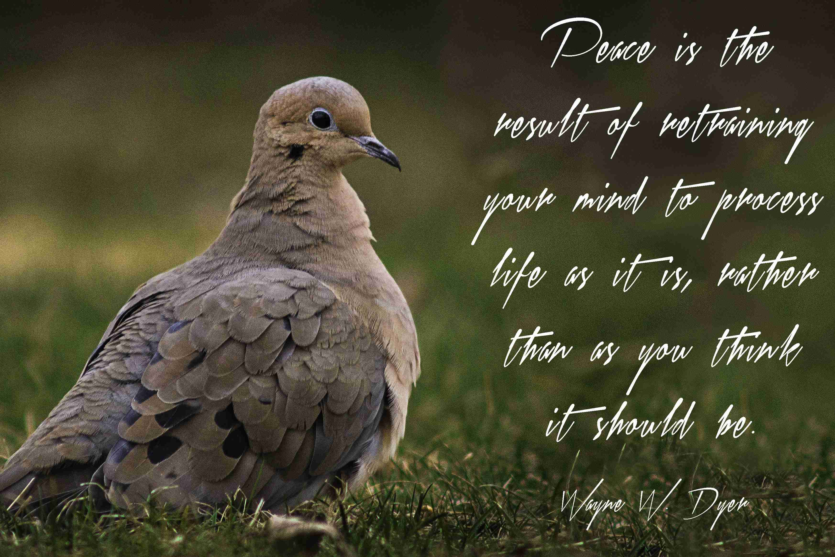Mourning Dove with Quote