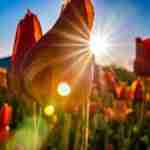 Portrait-Photographer-Holland-Michigan-Closup-Tulip-With-Starburst
