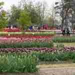 Tulip Fields with Tourists