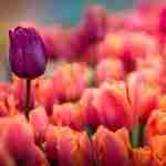 coral and pink tulips from Holland Michigans tulip time