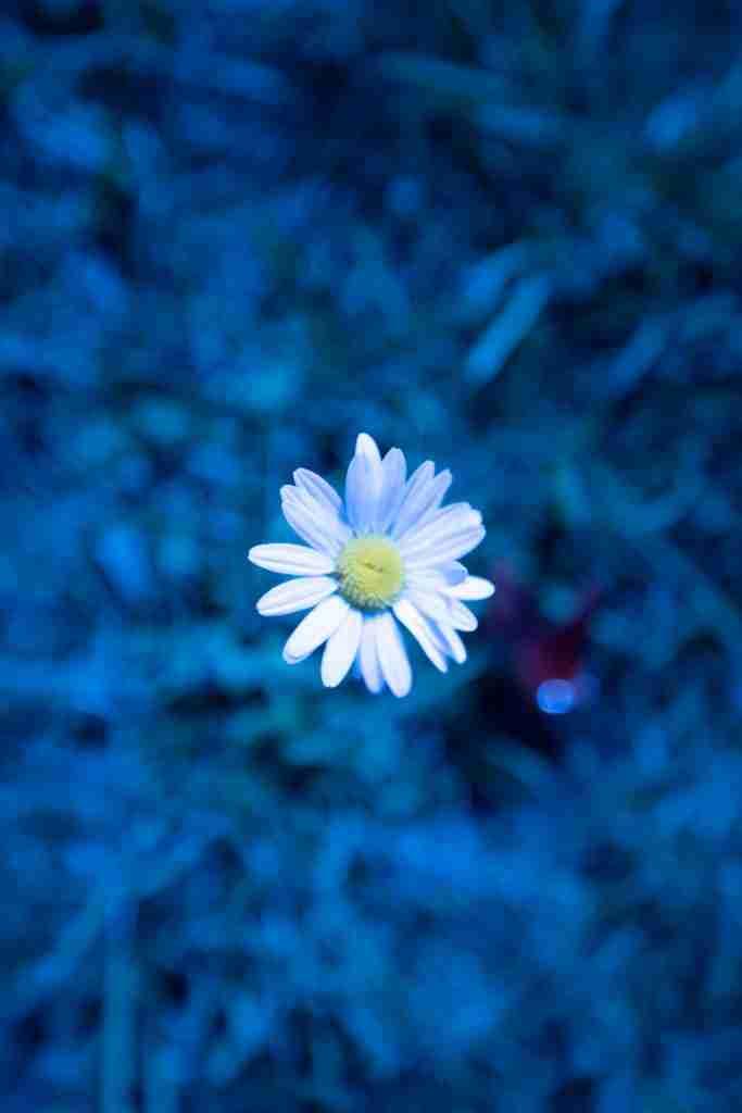Tiny daisy with cool white balance