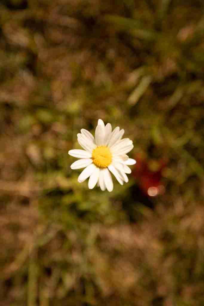 Tiny Daisy with warm white balance