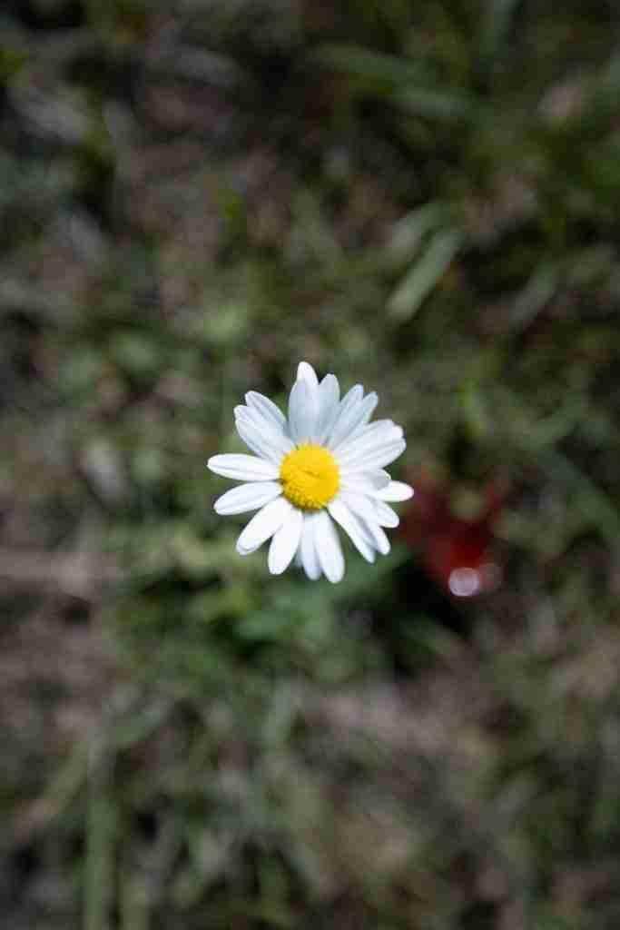 Tiny daisy with neutral white balance
