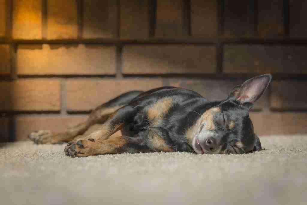 Sleeping dog with warm white balance
