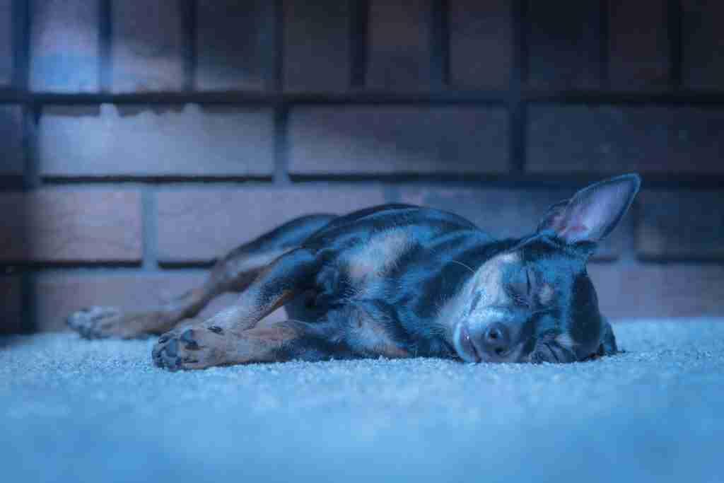 Sleeping dog with cool white balance