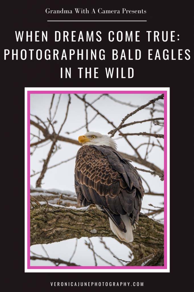 PIN image of a bald eagle on a branch