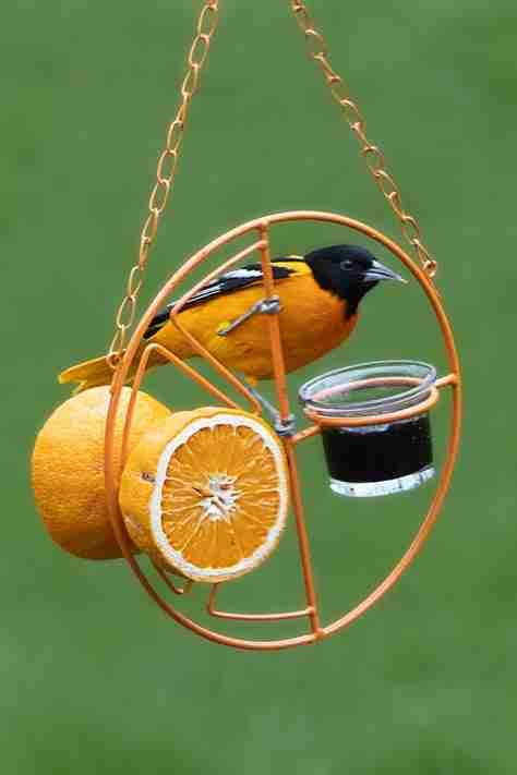 A bright orange oriole on an oriole feeder