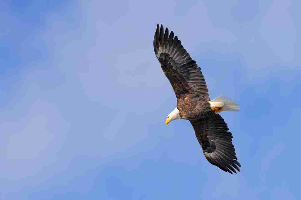 A Bald Eagle soaring with a blue sky background