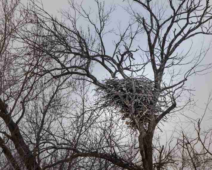 a Bald Eagle Nest sitting high in a tree