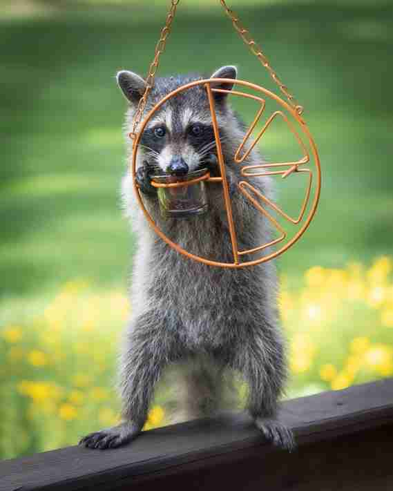 Cute raccoon eating out of an Oriole Feeder